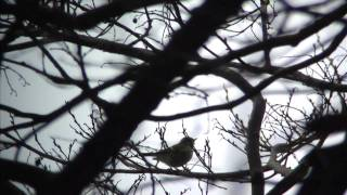 カラフトムシクイのさえずり Pallas's Warbler