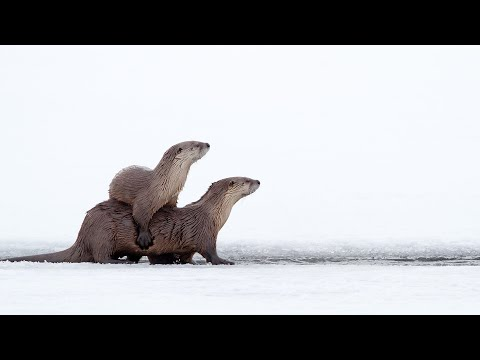 River Otters: Yellowstone National Park