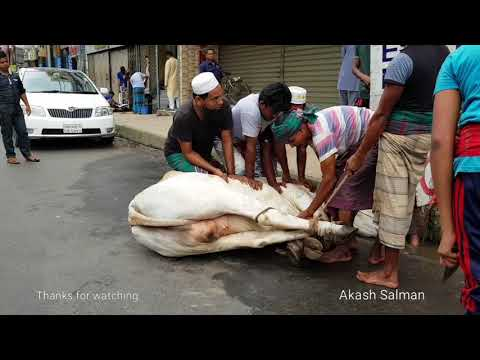 Big cow Qurbani in Dhaka Bangladesh. The biggest qurbani cows of Bangladesh.