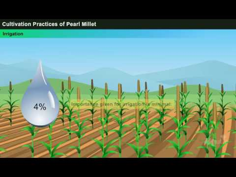 Cultivation Practices of Pearl Millet [Year-2]