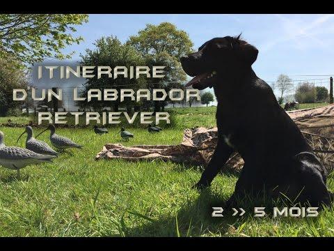 Itinéraire d'un Labrador Retriever / Black Labrador Gundog training part 1