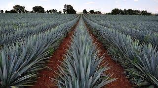 Agave Plant Agriculture Technology - Agave Farming - Agave Cultivation