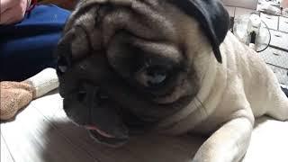 我が家の愛犬パグ「サクラ」我が家では、仕事休みの日録画した大河ドラ...