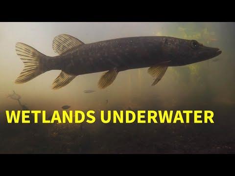 Freshwater Fish In Wetland Habitat