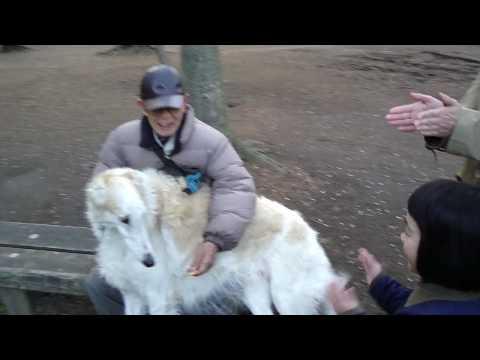 Russian Wolfhound (Borzoi) Meets 6-Year-Old Girl in Inokashira Park, Kichijoji, Tokyo