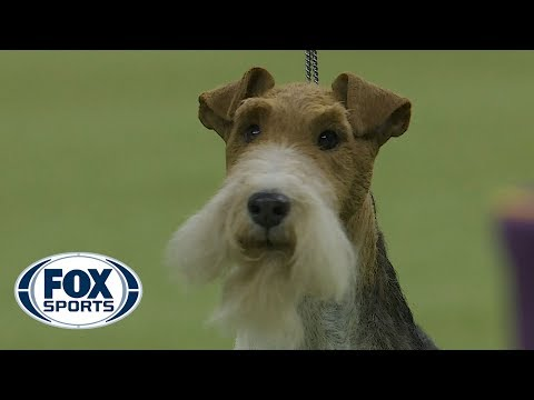 King wins Best in Show at the 2019 Westminster Kennel Club Dog Show | FOX SPORTS