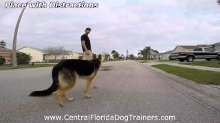 "1yr Old German Shepherd ""dutches"" Before And After Obedience. Central Florida Dog Training."