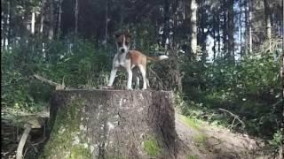Mój Leśny  Duszek   Jack  Russell   LOLA