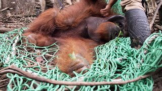 A Sedated Orangutan is at Risk of a Fatal Fall