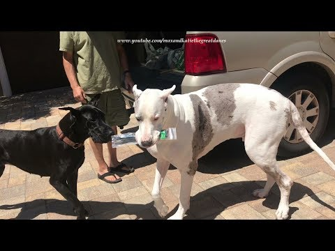 Great Dane Teaches Sister Dog How To Carry Stuff