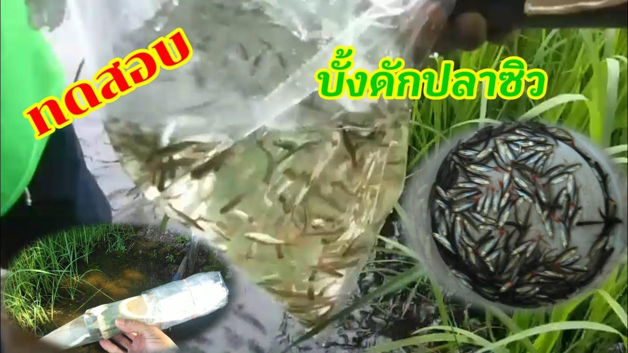 #ดักปลาซิว ทดสอบทําบั้งดักปลาซิว 🐠🐟🐟