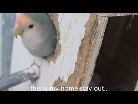 Love birds hatching eggs on different days