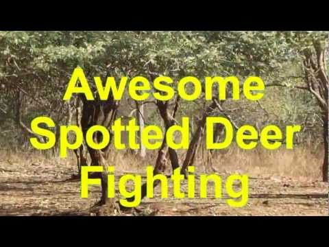 Awesome Spotted Deer Fighting.avi