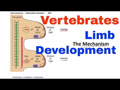 Limb development in vertebrates