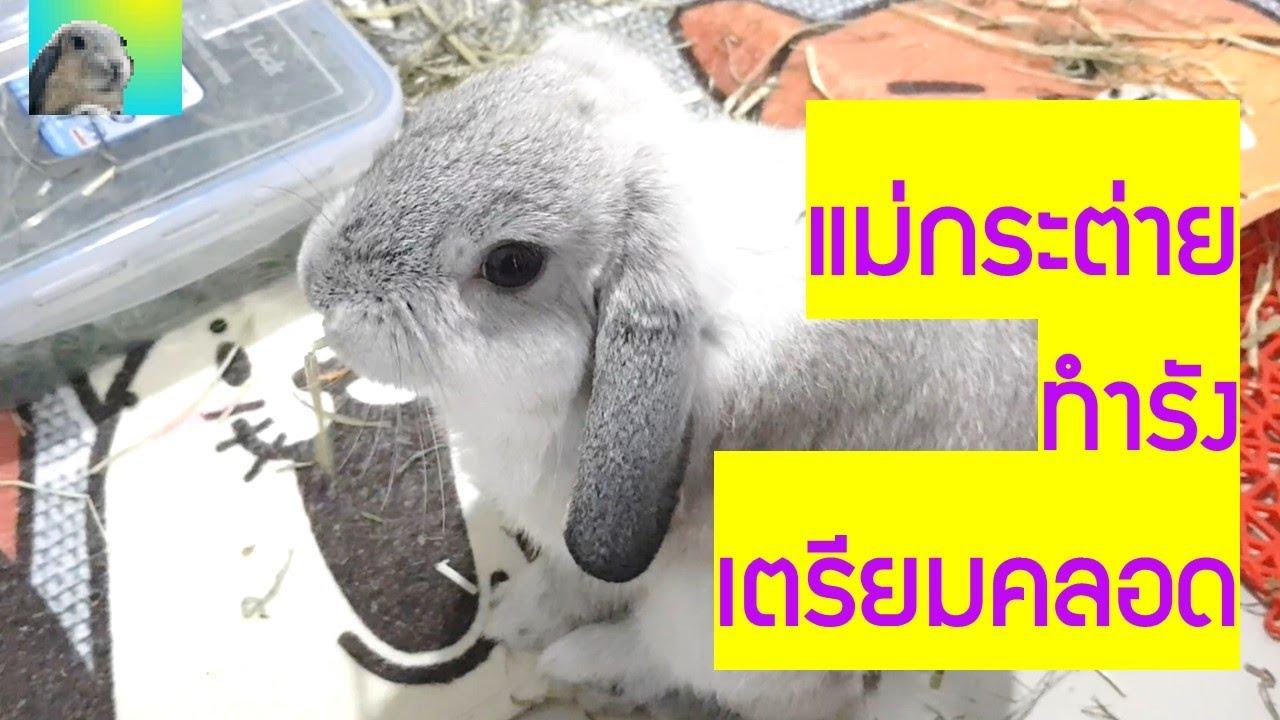 แม่กระต่ายทำรังเตรียมคลอดลูก ... คงไม่ท้องลม มโนไปเองนะ !