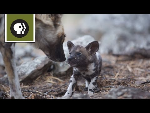 African Wild Dog Mom Needs a Break from Pups
