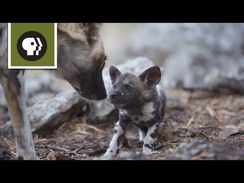Chó Hoang Châu Phi Mẹ Cần Trốn Con Để Nghỉ Ngơi