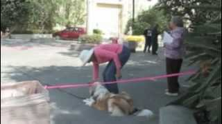 Collie Puppy Dog Fails Cgc Test, Part 1, Canine Good Citizen
