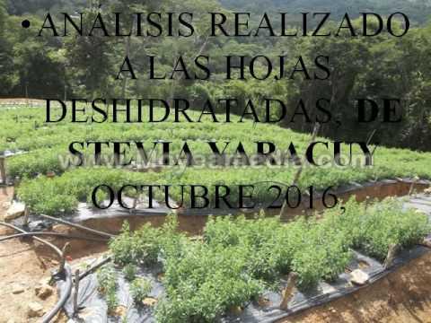 proyectoStevia Yaracuy San Felipe fotos 2017audio1