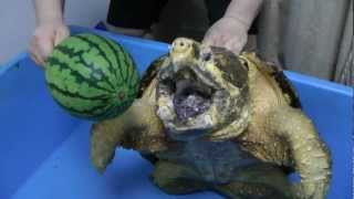 ワニガメ スイカ割り Alligator snapping turtle snaps Water melon off
