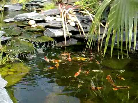 Koi pond fish in garden with a waterfall london youtube for Koi pond removal