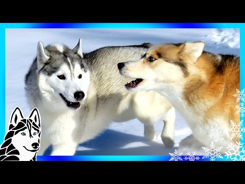DOGS ATTACKED BY OTHER DOGS ? | #AskGTTSD 288 | Siberian Husky