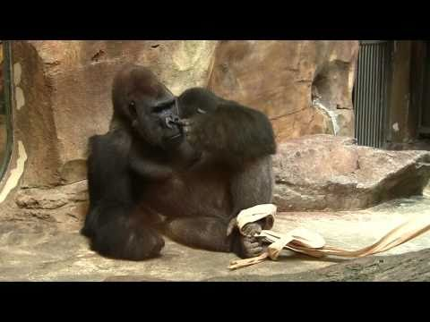Gorilla picks his butt, sniffs his finger, then eats it!