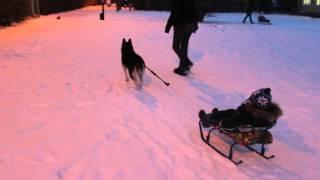 Хаски Лави(на)   Ездовая собака