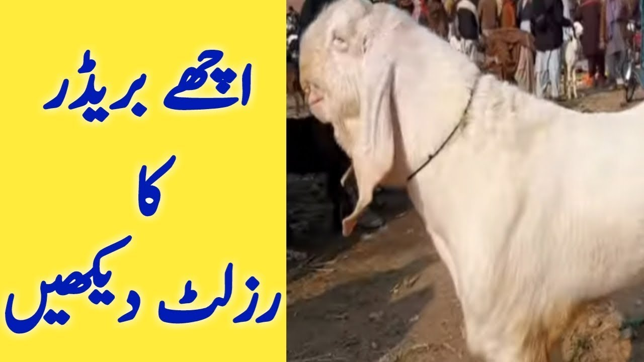 Rajanpuri no 1 breeder | gulabi breeder best for Goat Farm | gulabi bakra  ki pehchan by Goat Farming