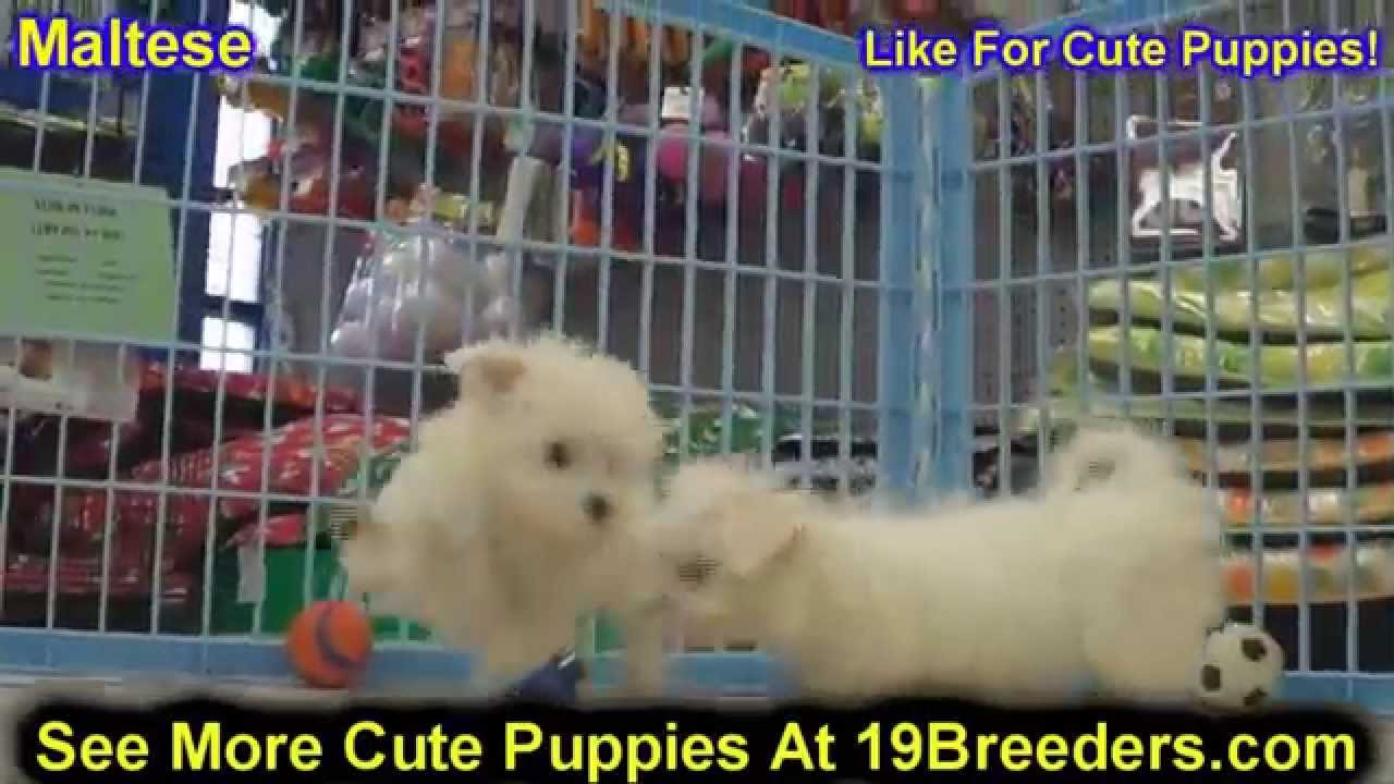 Maltese, Puppies, Dogs, For Sale, In Huntington, County ...
