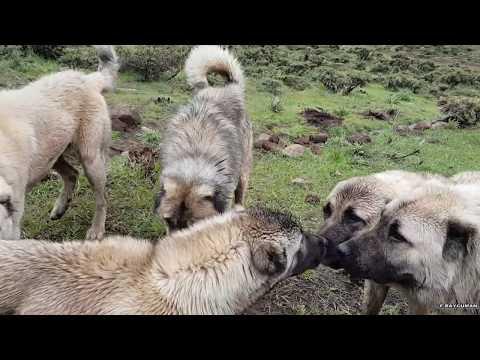 🎭 Dünya'da en güçlü köpeklerden olan Kangal - Asaletin simgesi... ©