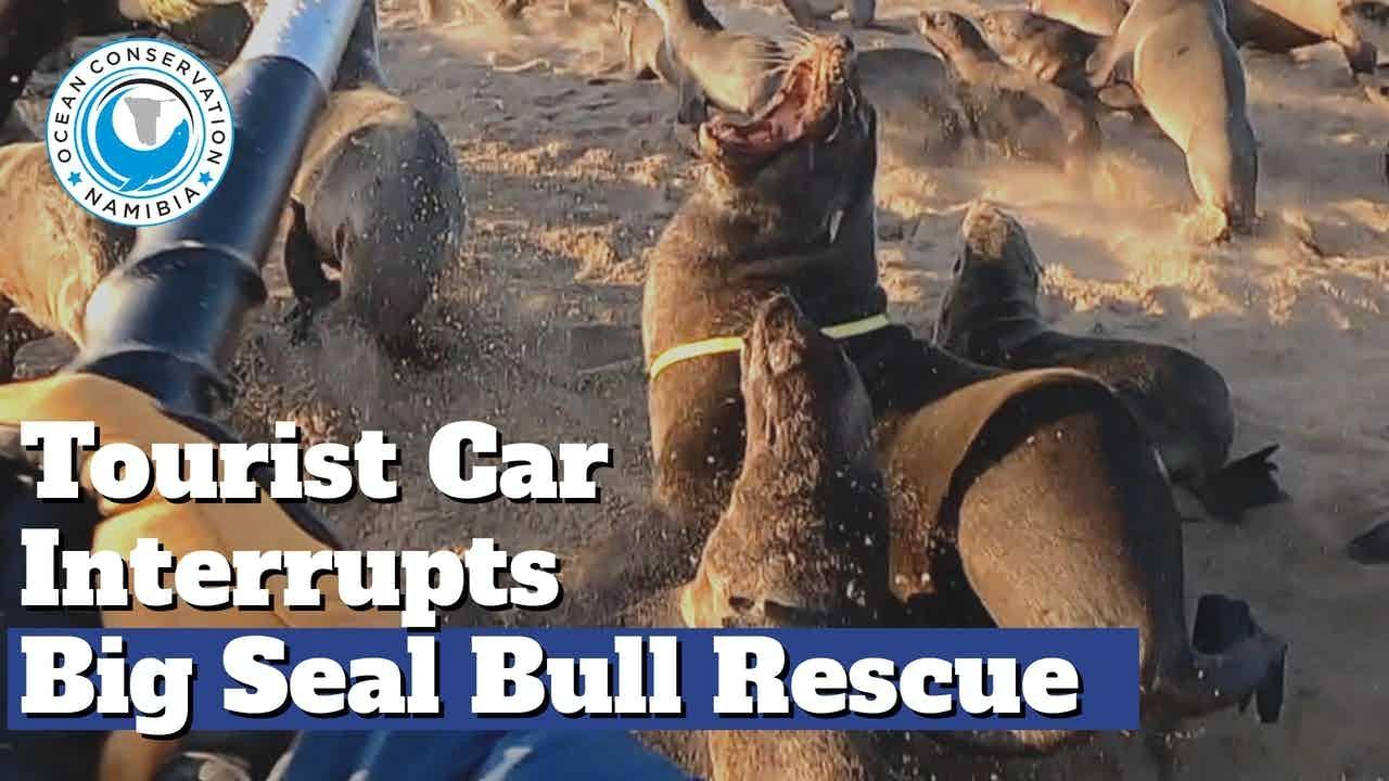 Tourist Car INTERRUPTS Big Seal Bull Rescue!!!