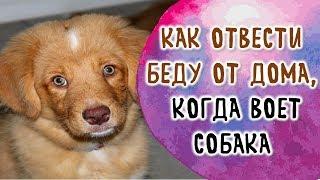Как отвести беду от дома, когда воет собака. Воет собака дома | Эзотерика для Тебя Советы Приметы