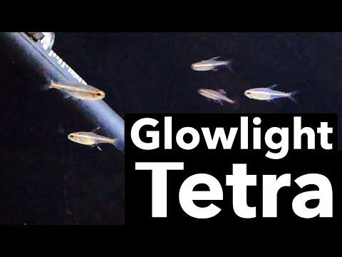Glowlight Tetra Fish Care - Aquarium Tank Setup