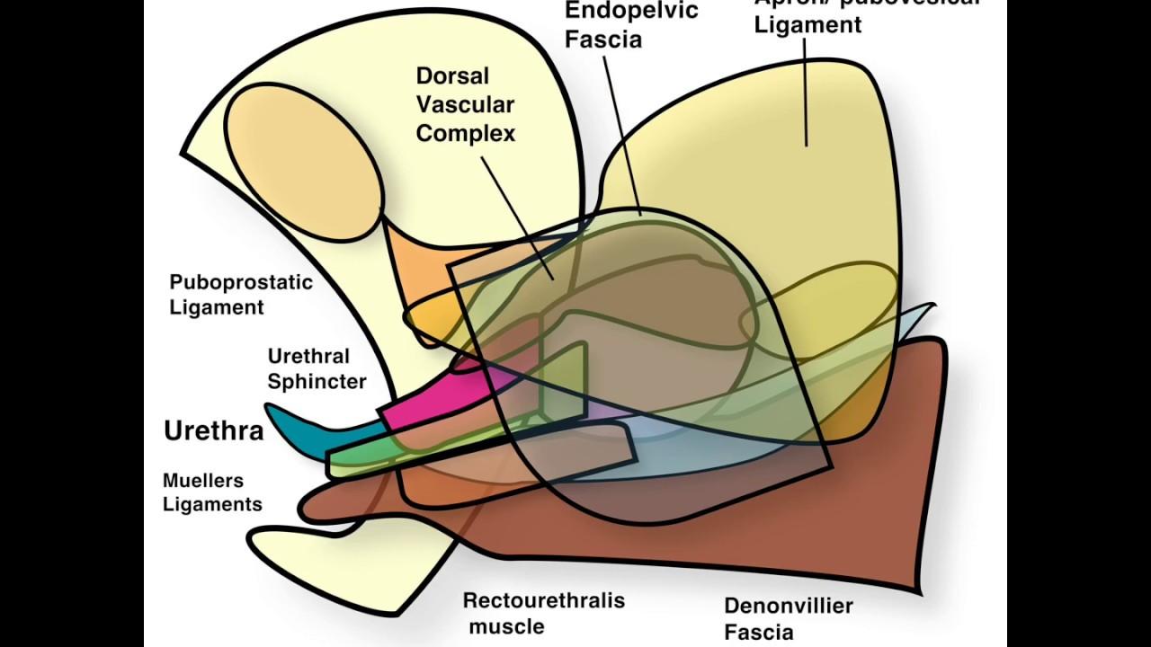 Robotic Radical Prostatectomy Rarp Anatomy For Preserving