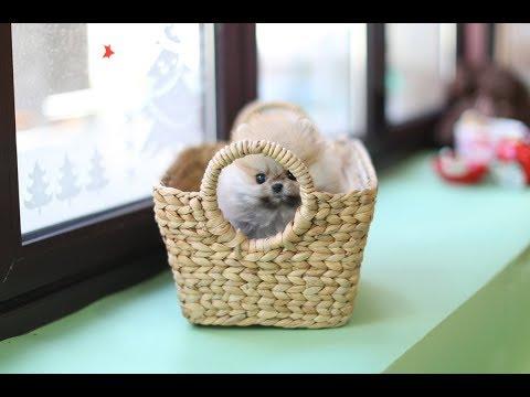 My TINY TEACUP Puppy! pomeranian