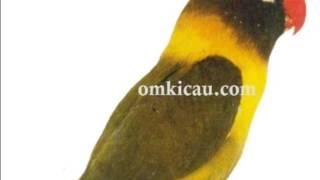 Video Cara membedakan Lovebird (josan ,marimas, darkgreen,olive) download MP3, 3GP, MP4, WEBM, AVI, FLV Juni 2018