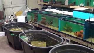 Hci Cichlids New Fish Room Part 2