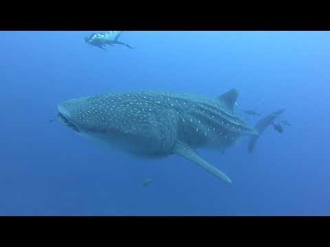 Whale Sharks, St Helena, South Atlantic
