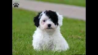 Все породы собак.Бишпу (бишон + пудель) (Bichpoo)