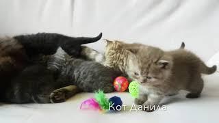 Британские котята, 1 мес. (Litter-D2)