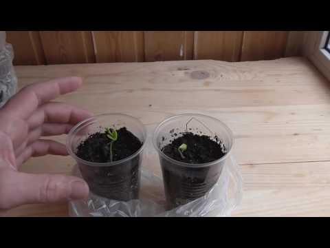 Выращивание бонсай из семян/ часть 2/первые ростки