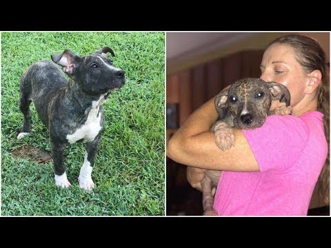 Pit bull puppy beats her weakness and looking for a forever home