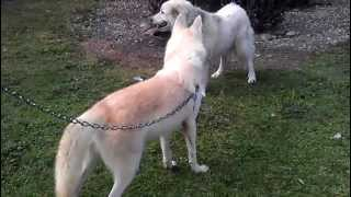 White wolf meets dog