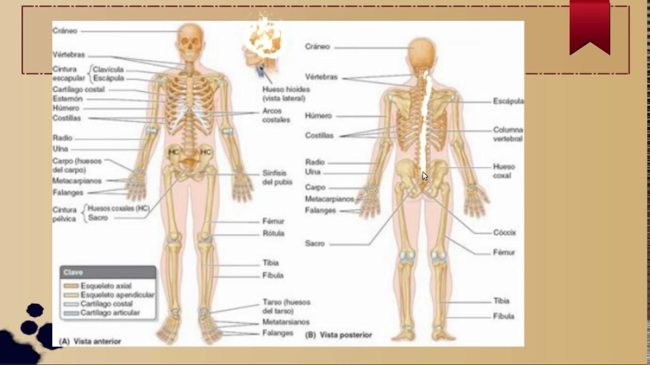 Generalidades del sistema Esqueletico - YouTube