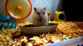 風邪をひいてしましました http://hamster-blog.rant-k.com/