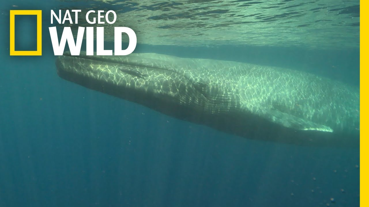 Blue Whales 101  Nat Geo Wild - Youtube-7290