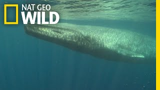 Blue Whales 101 | Nat Geo Wild