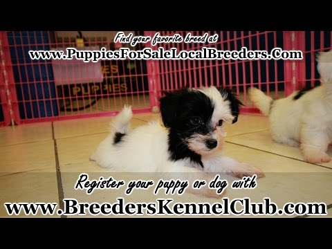Coton de Tulear, Puppies For Sale, In Mobile, County, Alabama, AL, 19Breeders, Tuscaloosa, Decatur