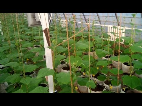 видео: Выращивание огурцов в теплице_1